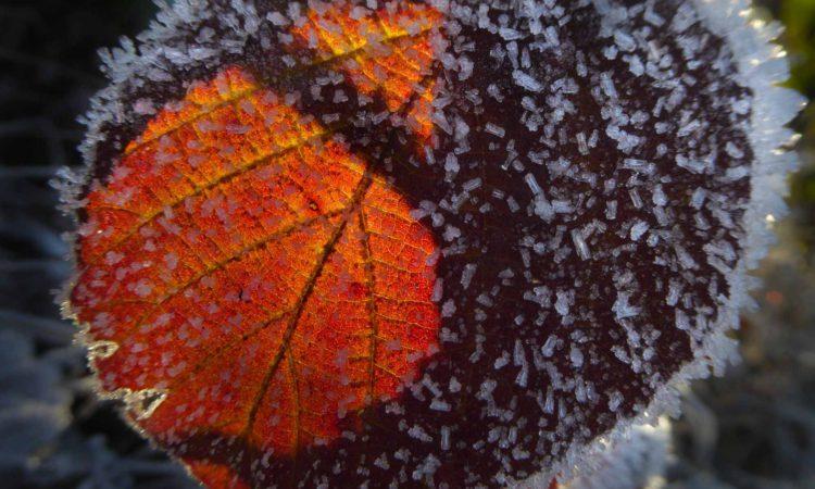 ...verleihen den Blättern die Anmutung  von Kirchenfenstern.